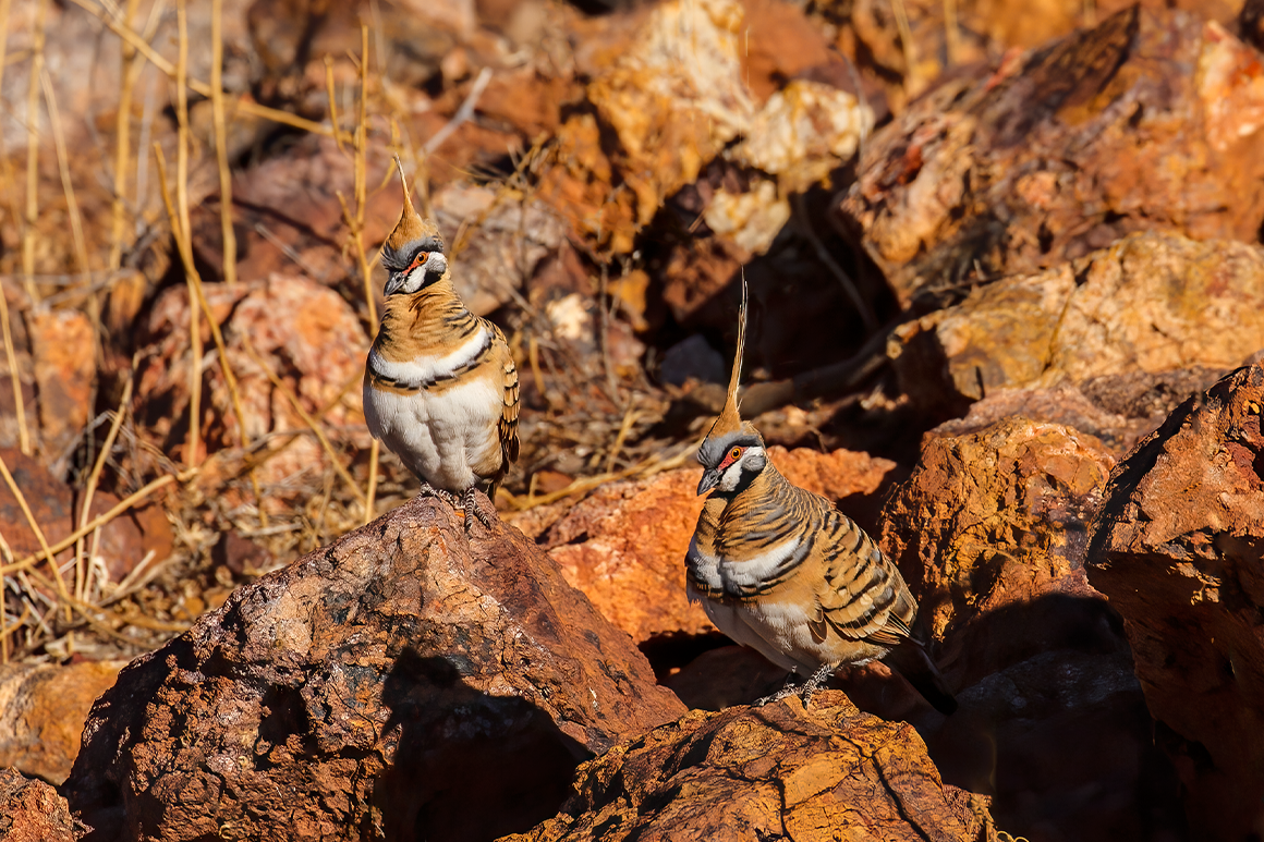 Two spinifex pigeons, crests erect, sit on rocks among grassland.