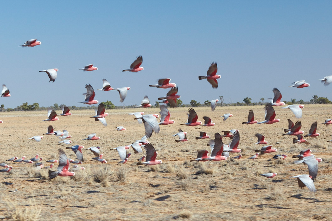 A flock of grey and pink galahs flies across dry grassland.