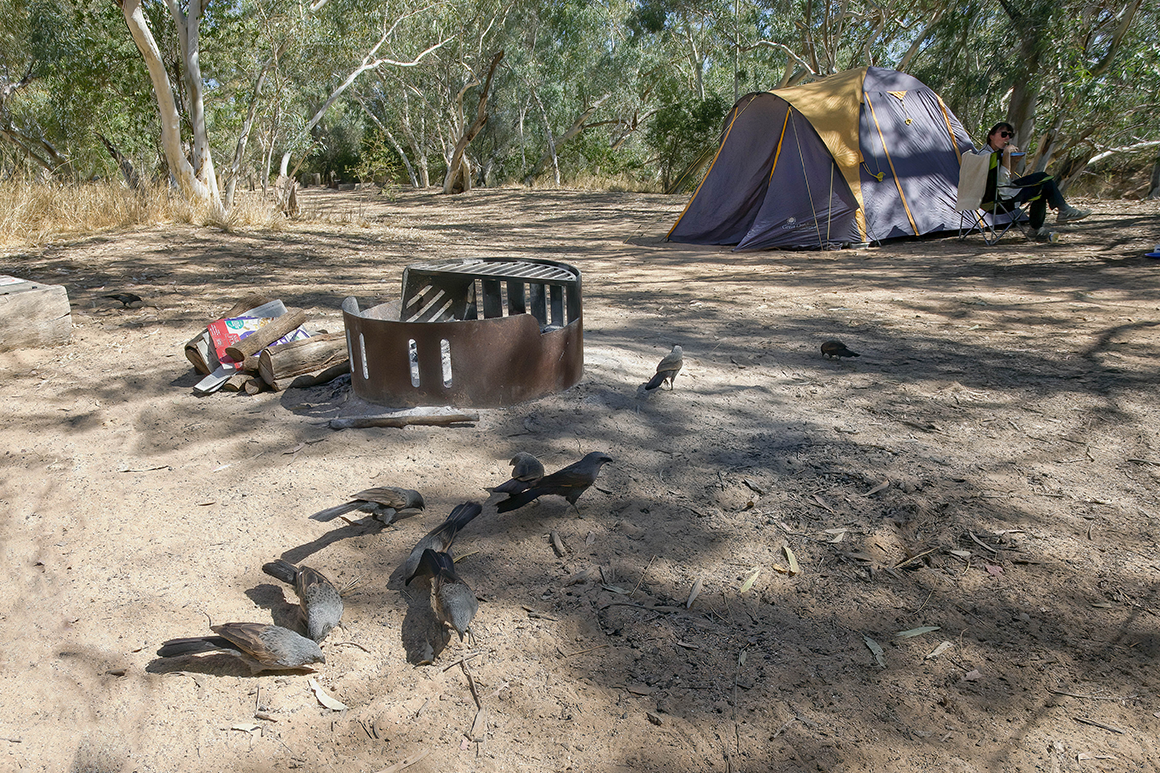 A group of apostlebirds forages around camp site.