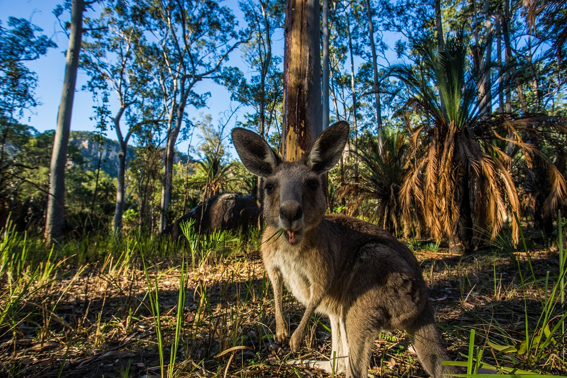 Curious wallaby gazes into camera lens surrounded by forest.