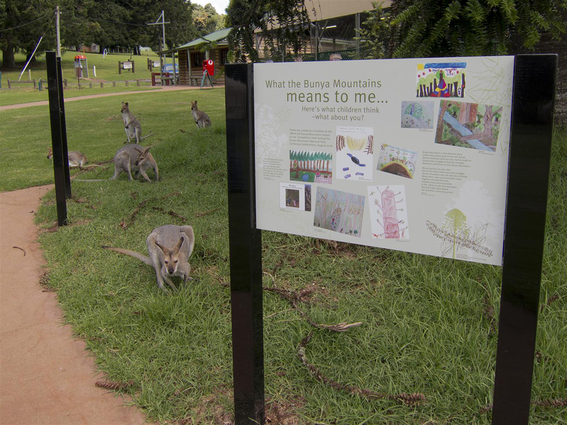Numerous kangaroos sit, browse and laze around the green grass in the day-use area with a large sign in foreground (featuring children's art about the Bunya Mountains) and facilities in the background.
