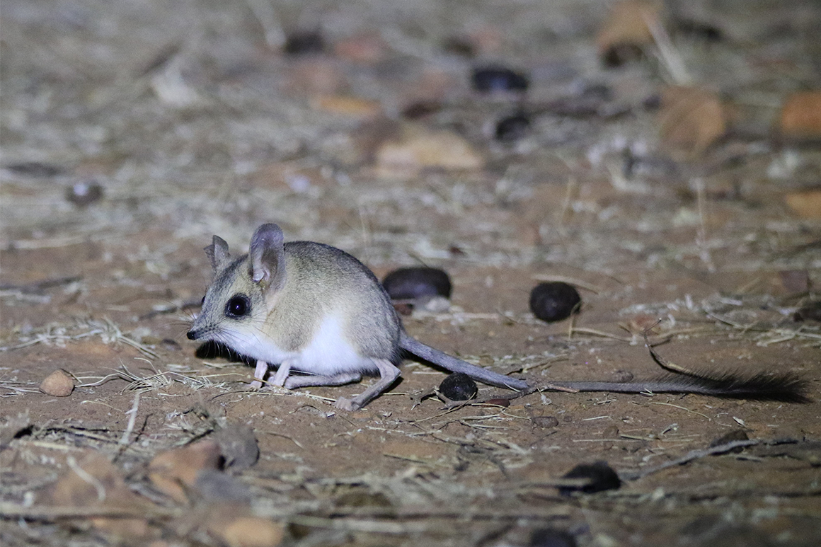 Tiny mouse-like animal sits on open clay pan.