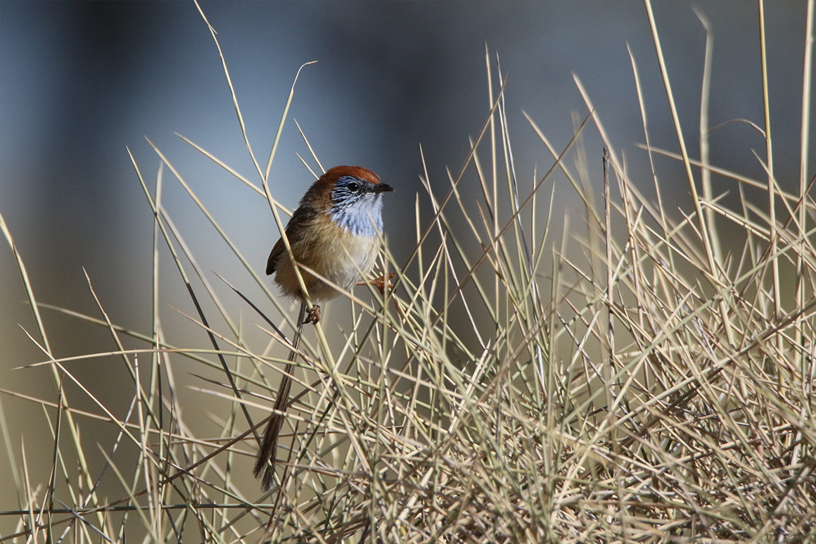Tiny bird with long tail sits on spike spinifex stalks.