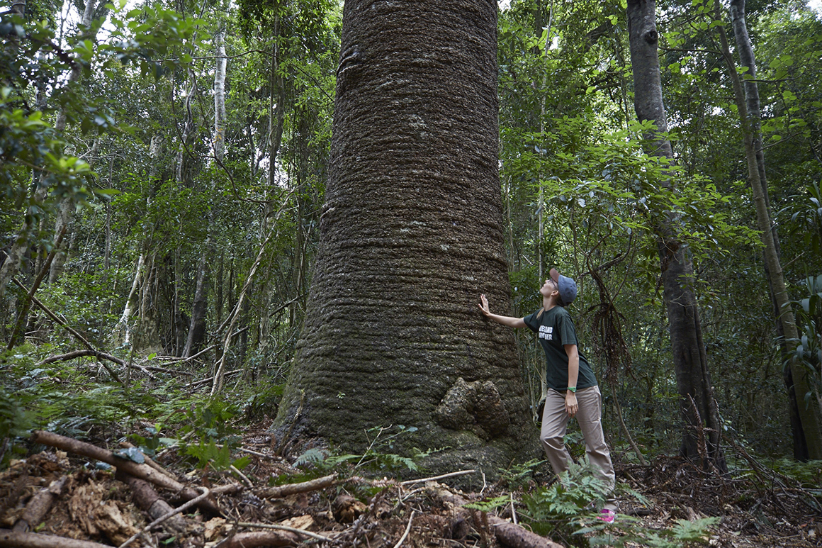 Young woman standing on track at base of trunk of huge Bunya pine, hand leaning on the rough-barked trunk, while surrounded by forest.