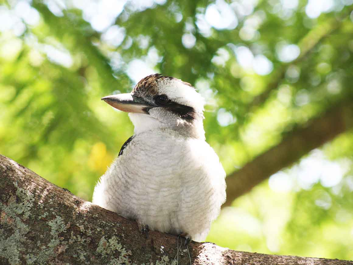 Fluffy white breast and head of kookaburra squatting on branch, with head turned to side to show strong powerful beak