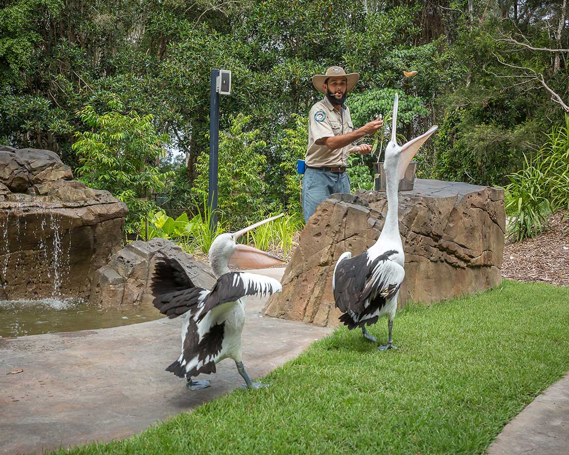 Ranger Clinton throws fish to two pelicans, mouths agape, during the Fleay's in Flight show