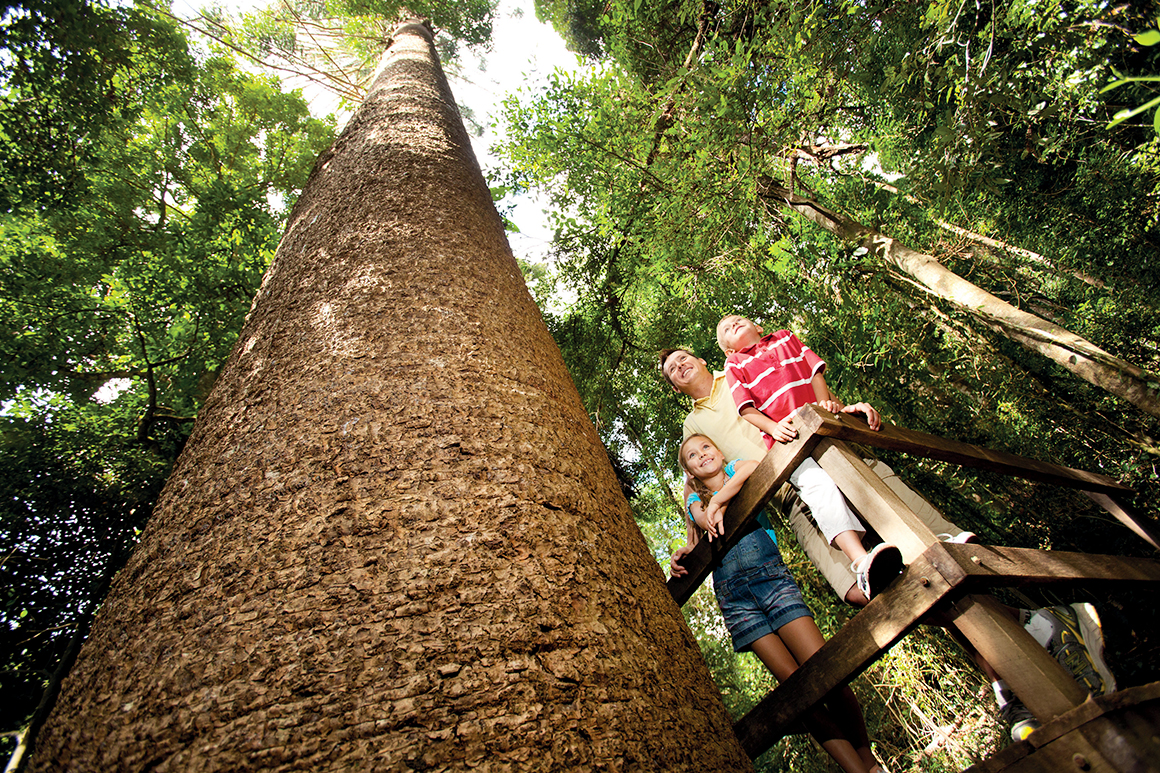 A broad trunk of a bunya pine soars skyward, next to a walkway where two children and a man gaze upwards.