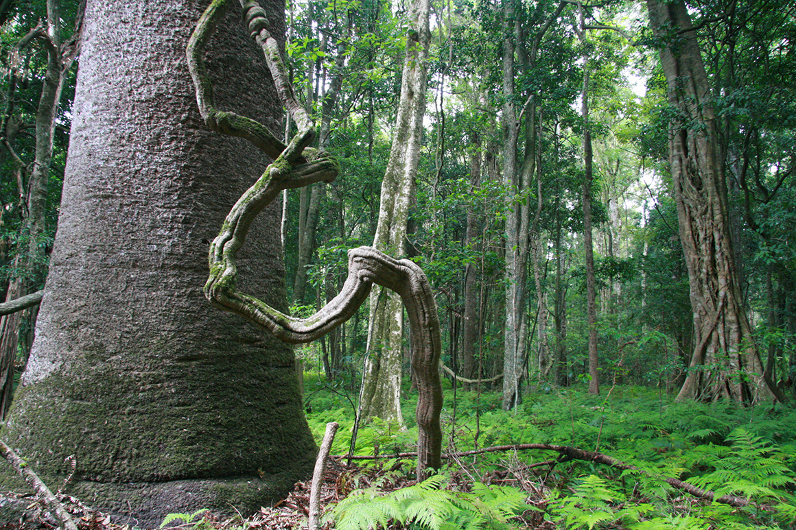 Huge broad trunk of a bunya pine stands in a forest of tall slender rainforest trees with a fern understorey.